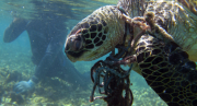 A green sea turtle entangled in a fishing net. Credit: National Oceanic and Atmospheric Administration