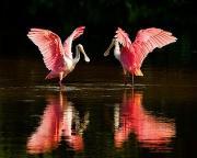 "Roseate spoonbills stage a colorful display at J.N. ""Ding"" Darling National Wildlife Refuge in Florida. Credit: US Fish & Wildlife Service"