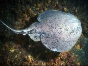 Pacific electric ray, also know as a torpedo. Credit: National Oceanic and Atmospheric Administration