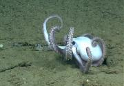 "Octopuses coordinate eight ""arms"" to crawl across the ocean floor. Credit: National Oceanic and Atmospheric Administration"