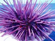 A purple sea urchin. Credit: Claire Fackler, National Oceanic and Atmospheric Administration