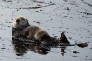 A sea otter mom and her baby. Credit: National Oceanic and Atmospheric Administration.